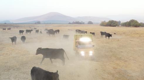 Tuatara Cattle