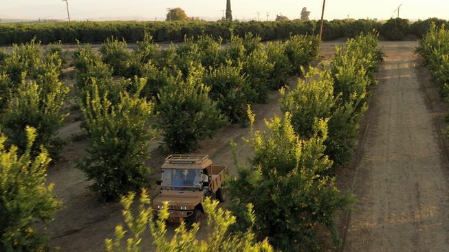 Tuatara in the Orchard