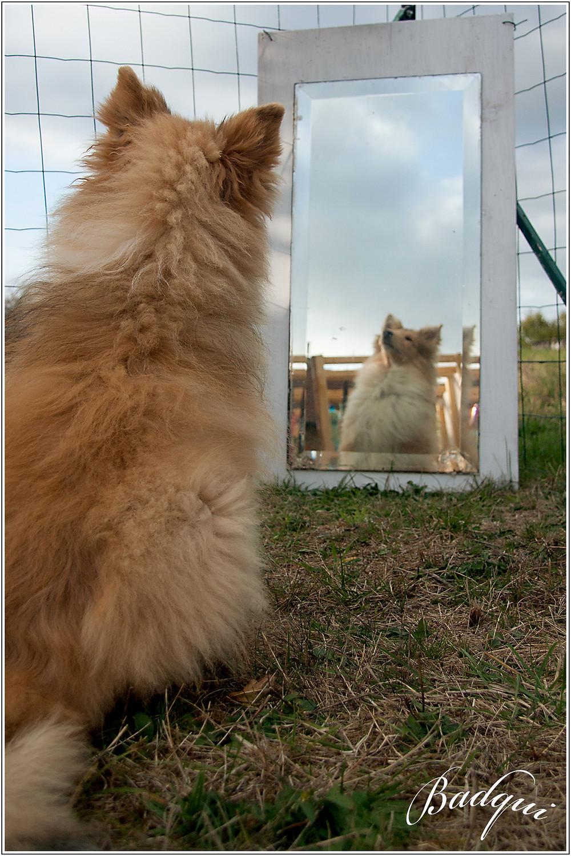 Le miroir apprend au chiot a ne pas avoir peur de son reflet