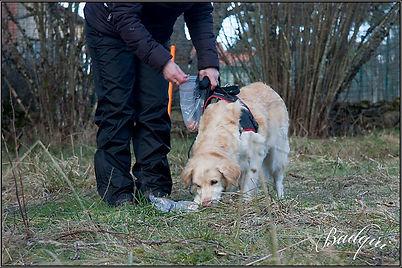 initiation pistage ( truffe en flaire) a dore lelise ( 63) education canine ambert