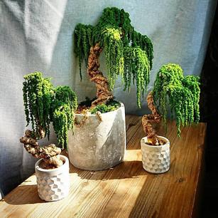 🌿 Eternal Bonsaï 🌿_._Jungle Collection