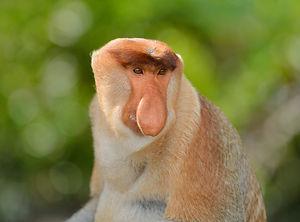 sabah-proboscis-monkey.jpg