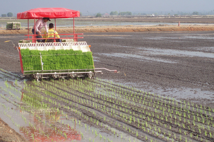 Sekinchan Paddy Planting
