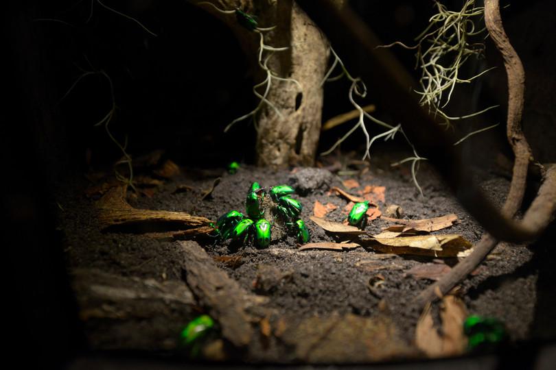 Penang Entopia Exhibit Beetle