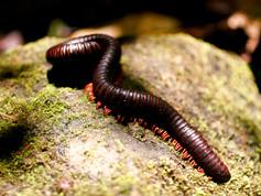 Milipedes