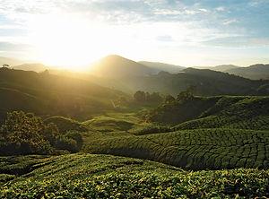 cameron-highlands-tea-plantation.jpg