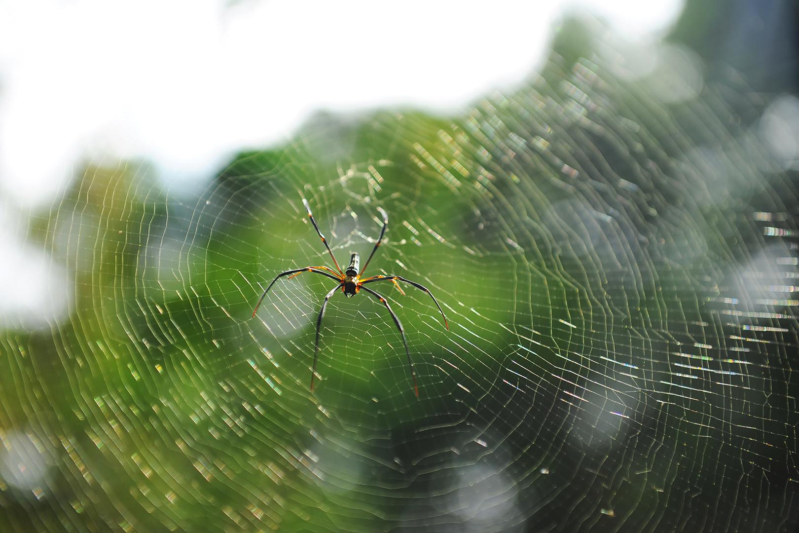Penang National Park Spider
