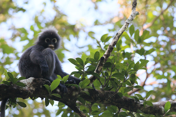 Penang National Park Dusky Leaf Monkey