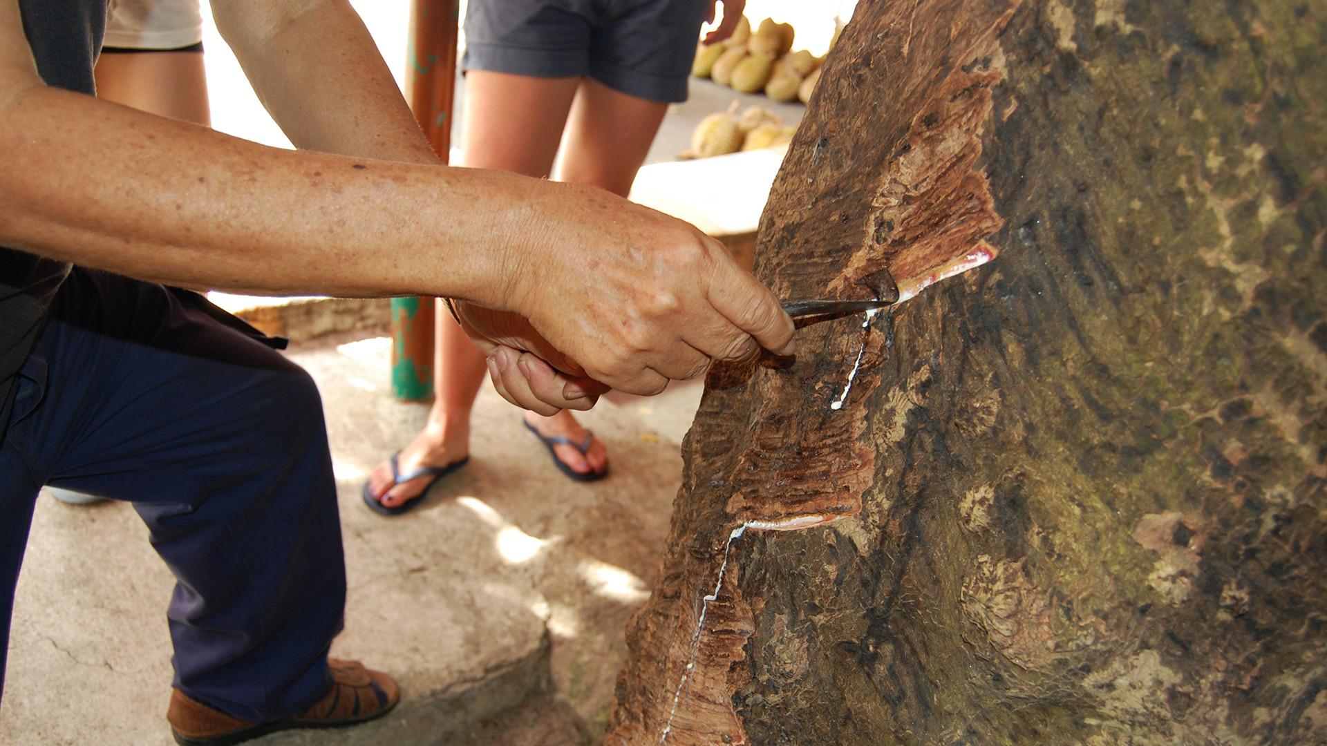 Penang Rubber Tapping