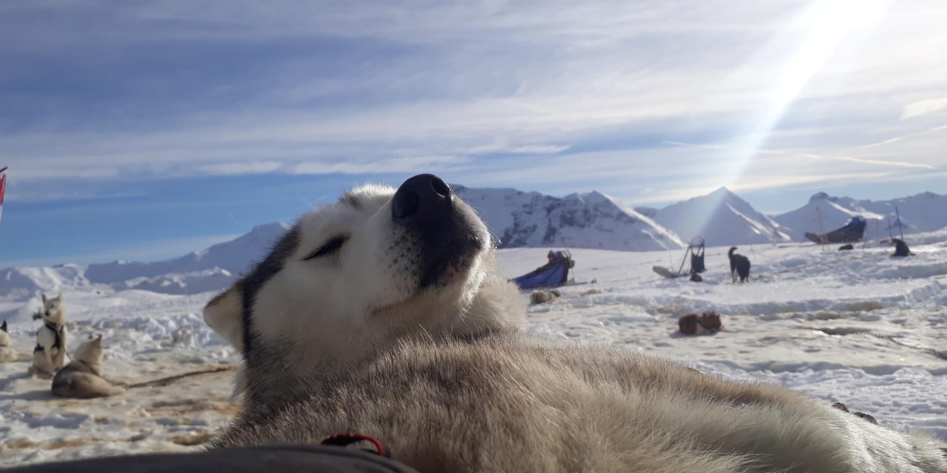 Iditarod chien de traineau