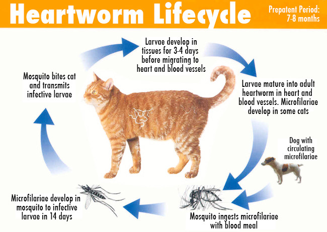What you need to know about heart worm and your kitty