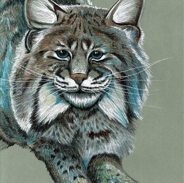 Bobcat_KMulvany2