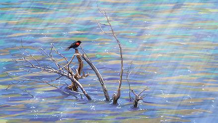 RedWingedBlackbird Illustration_Mulvany.