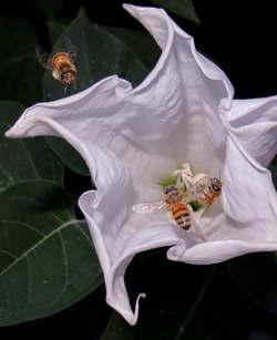 Honeybees in Datura Blossom