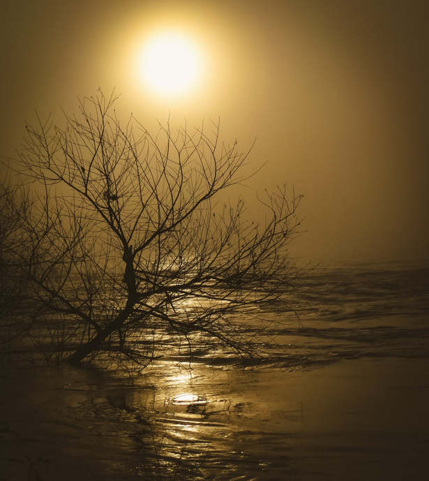 Drowned Tree in Gold Fog