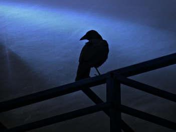 Attention Sensing Crow
