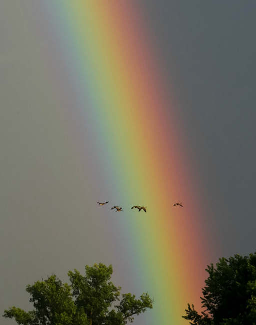 Canada Geese and Rainbow