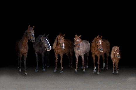 Saddlebred Tennessee Walking Horse Arabi