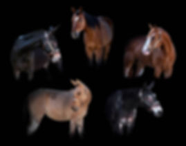 Mule Quarter Horse.jpg
