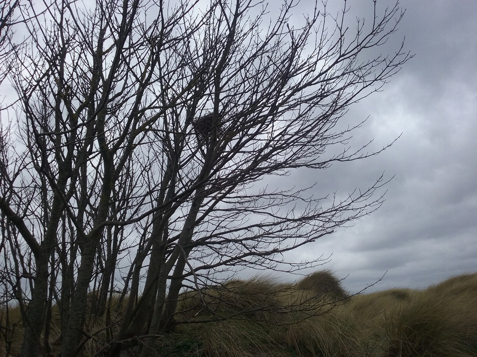 Hooded Crow Nest