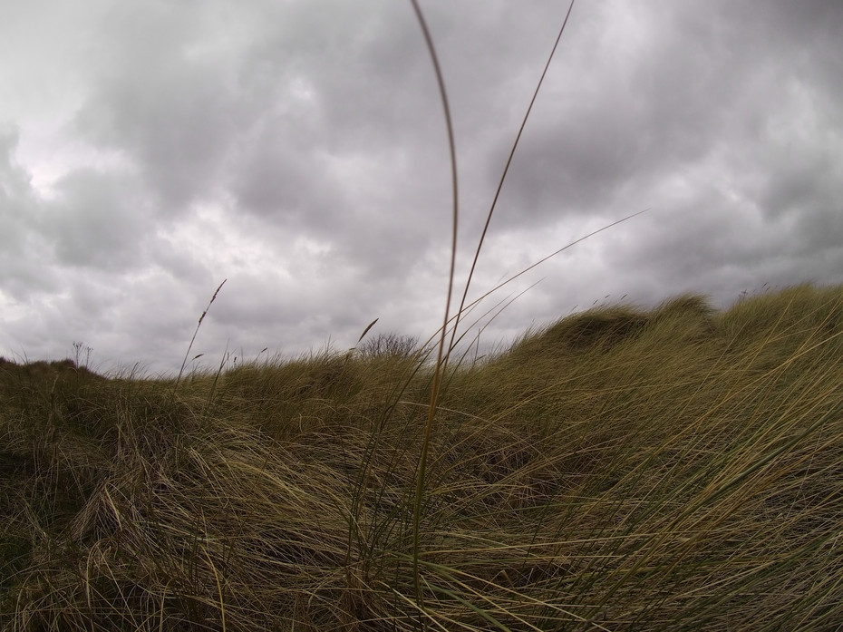 Marram Grass, Blades