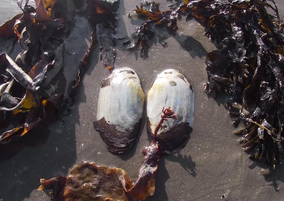 Shell Art, Wet Seaweed