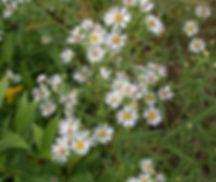 symphyotrichum-boreale-42785.jpg