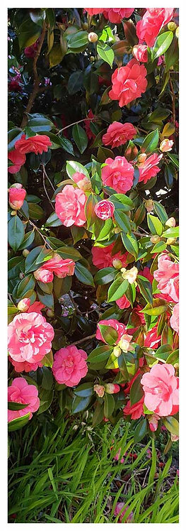 Blooming time blush camelia cluster flowers photo greeting card