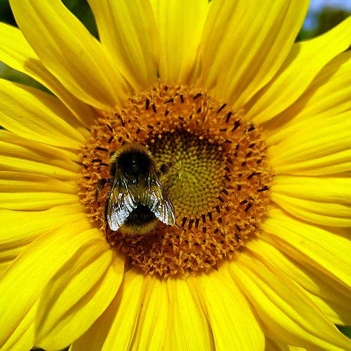 Blooming beautiful bee sunflower summer buzz photo greeting card