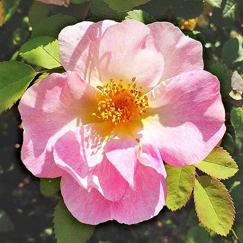 Blooming beautiful briar rose flower photo greeting card