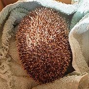 hedgehog-in-box-250w.jpg