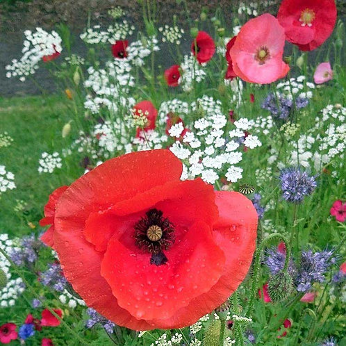 Blooming beautiful poppy poppies flower lest we forget remembrance photo greeting card
