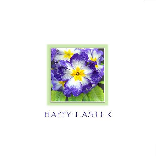 Easter Primrose