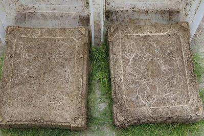 Racines herbe avec et sans biochar.JPG