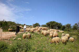 Shepherd with a herd of sheep
