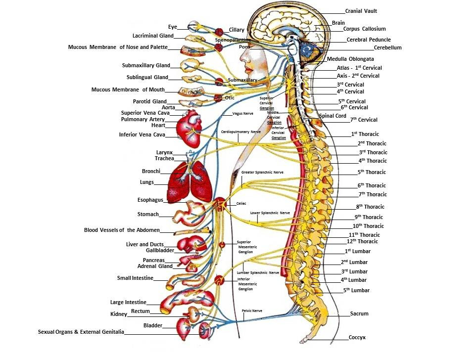 Spine nerves organ dysfunction chiropractor