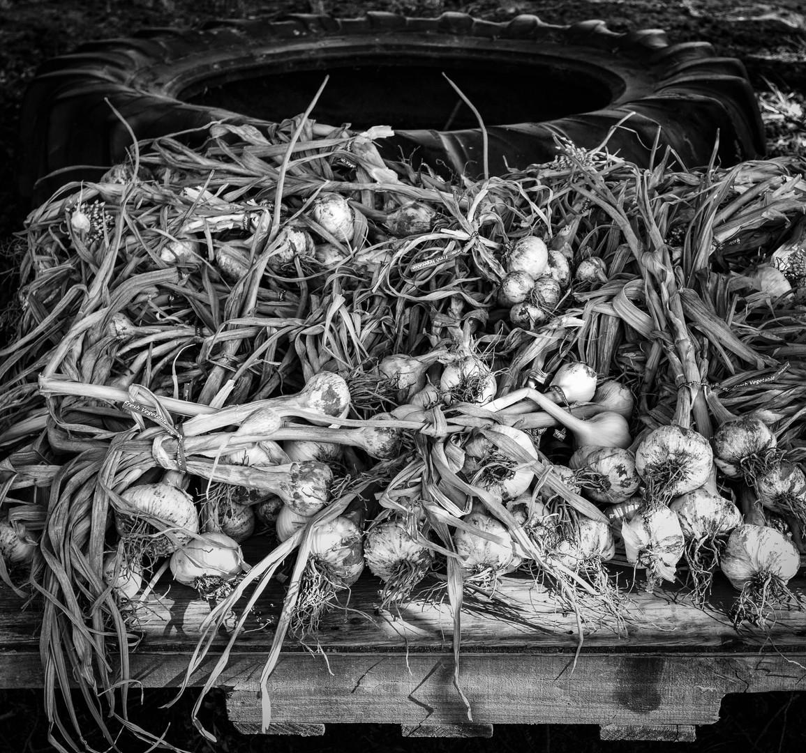 Giant Garlic Harvest