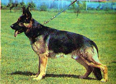 german shepherd roach back