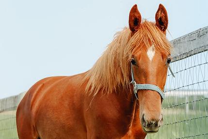 Dreamacres Joelene Saddlebred mare for sale Joe Fabulous