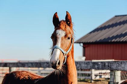 Dreamacres Kiss The Girl Callaway's Northern Kiss American Saddlebred mare for sale iowa