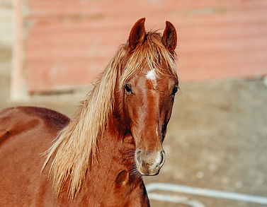 Dreamacres City Of Stars Tango's Parting Kiss WC Tronese Saddlebred gelding for sale
