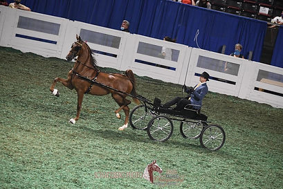 Dreamacres Chapel Of Love American Saddlebred Fine Harness for sale show