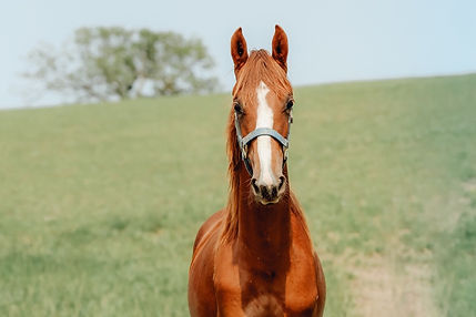 Dreamacres Northern Downpour Callaway's Northern Kiss Saddlebred mare for sale iowa
