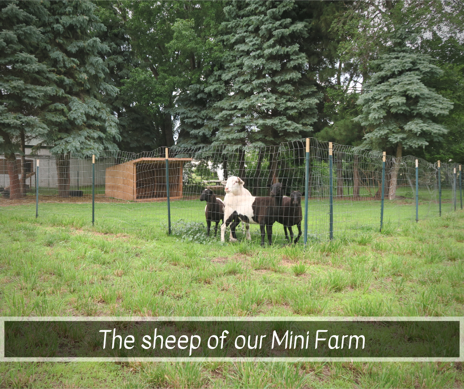 Sheep of the MF.png