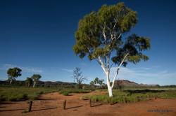 Namitjira Tree