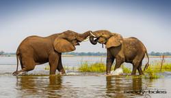 Elephant Combat