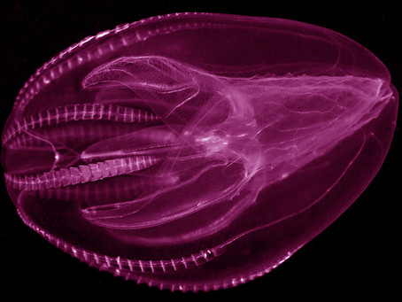 Rave with the Comb Jellies