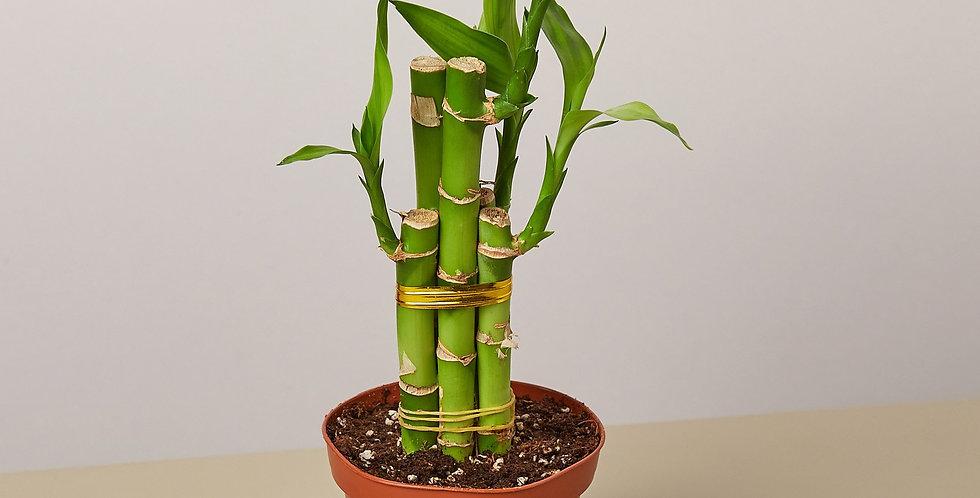 Dracaena 'Lucky Bamboo'