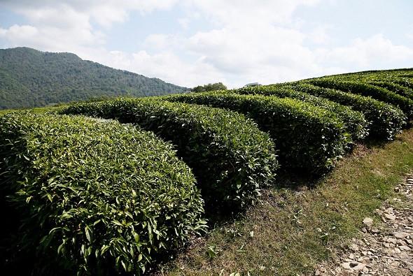 В Сочи прошел рейд по изъятию контрафактного «Краснодарского чая»