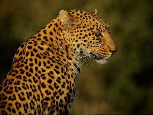 Leopards: earning their spots